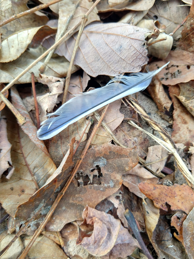 Blue bird feather in leaves