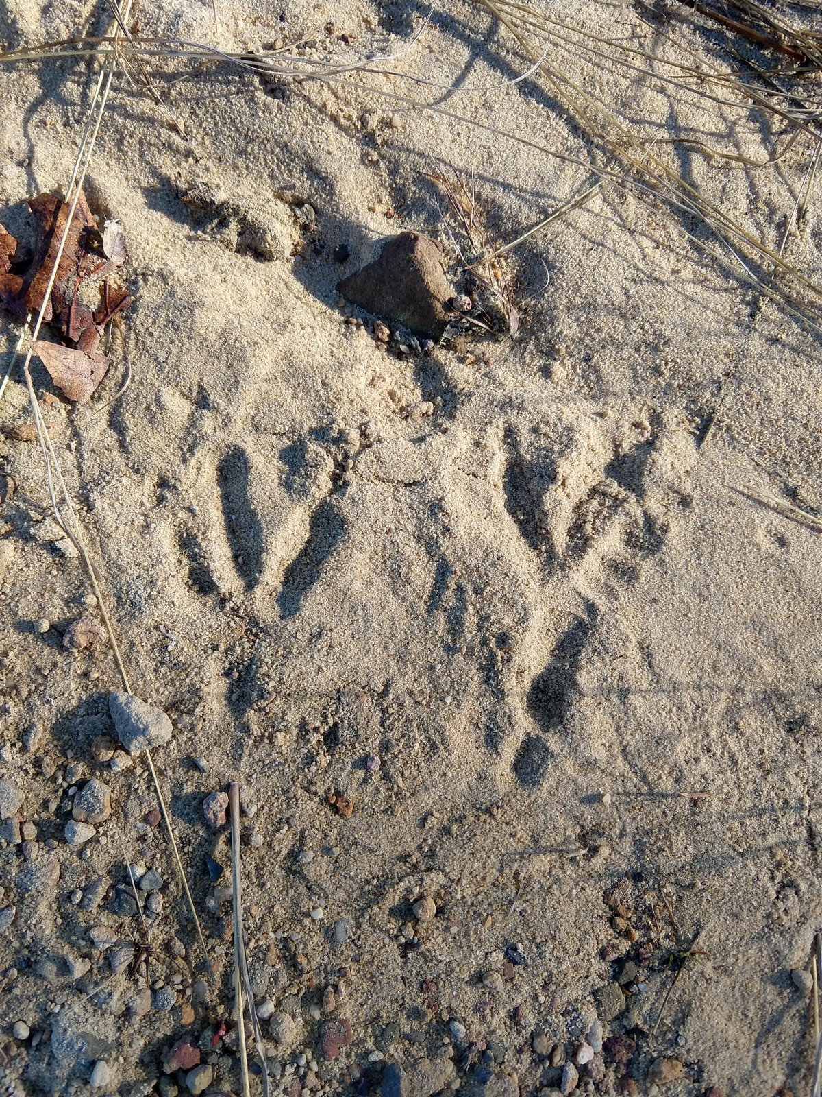 Wild turkey tracks in sand